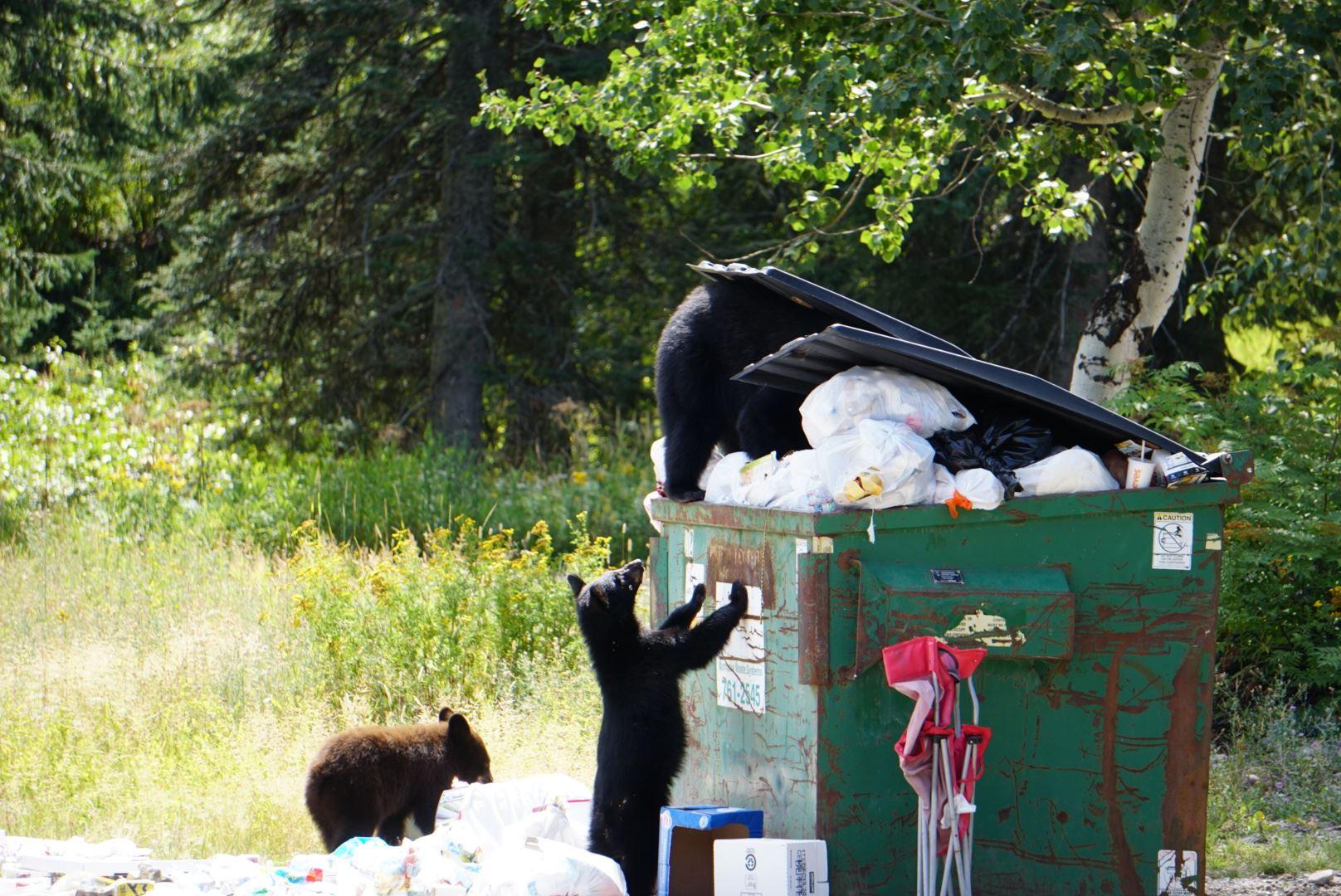 Bear family in dumpster (JPEG)